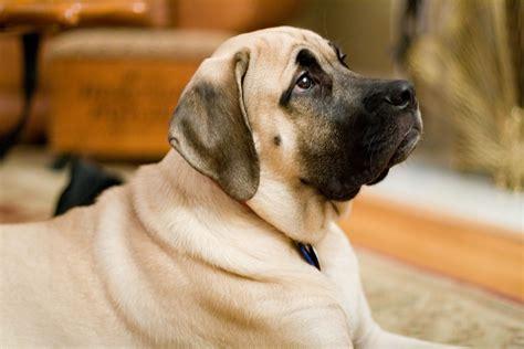 pictures of mastiff dogs mastiff images femalecelebrity