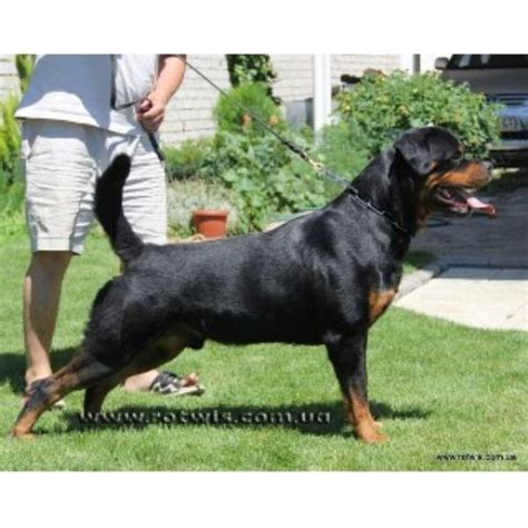 rottweiler for sale in arkansas rottweiler breeders in arkansas freedoglistings