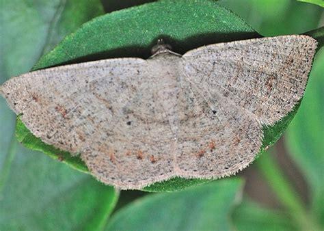 cream wave moth scopula perlata   optivata