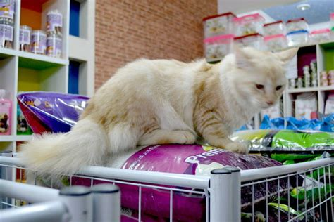 Sho Kucing Di Malaysia maine coon kitten sold 6 years 5 months maine