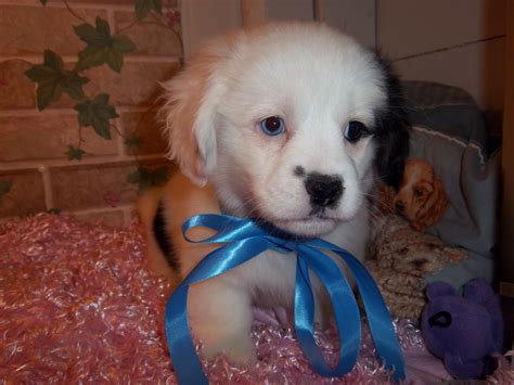 mainely puppies small mixed breed puppies for sale south maine mainely puppies