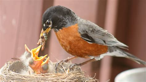 baby robins being fed feederwatch