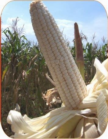 Pakan Udang Dari Jagung antara jagung kuning dengan jagung putih