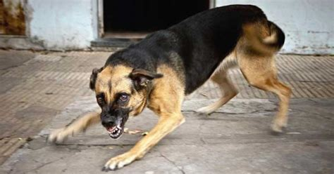 rabies for dogs rabies what you need to to prevent it turning your pet mad