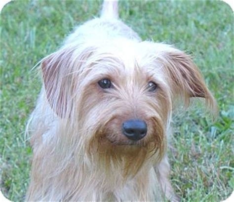 norwich terrier yorkie mix silky adopted mocksville nc yorkie terrier norwich terrier mix