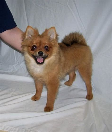 pomeranian grooming clippers groomers rachael edwards