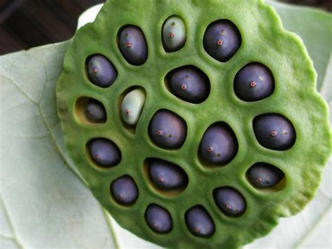 lotus flower seeds seeds of lotus flowers jpg hi res 1080p hd