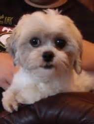 bichon shih tzu rescue dogs on puppys shih tzu and bichon frise