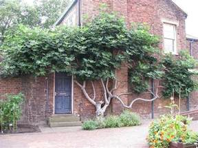 espalier fig tree garden design trained trees pinterest