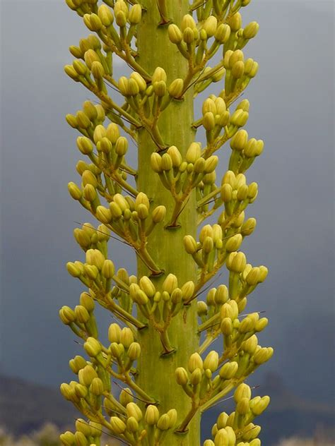 who flowers and plants always want to ut 237 l 237 ze agave utah agave grand plant flower flowers