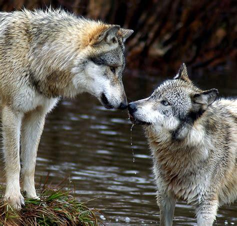 el lobo de los el lobo y su evolucion el lobo y su evolucion
