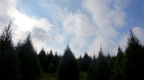 gallery of whispering pines christmas tree farm fabulous