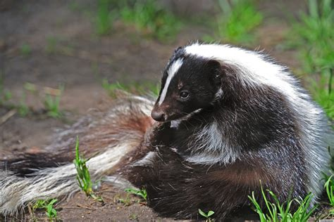image gallery skunk homes