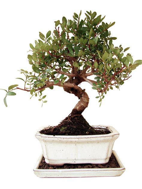 genki bonsai pistazie pis9 2 genki bonsai