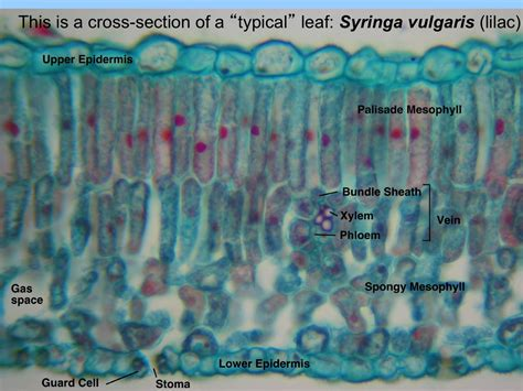 cross section of lilac leaf leaf homework slides