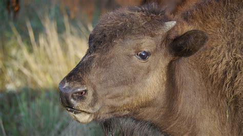 backyard bison 100 backyard bison raise a glass microbrew and