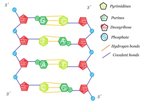 dna molecule diagram notes dna structure