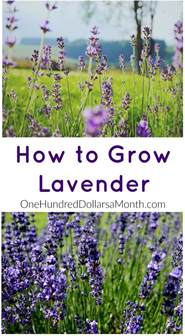 how to grow lavender start to finish one hundred