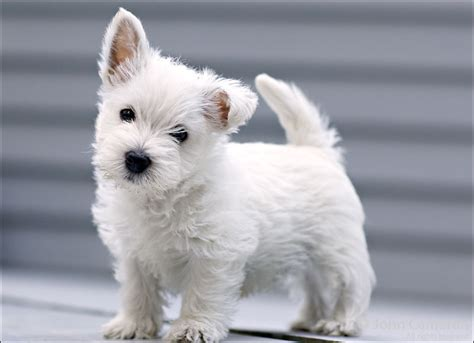 west highland white terrier puppy west highland white terrier breed pictures information temperament