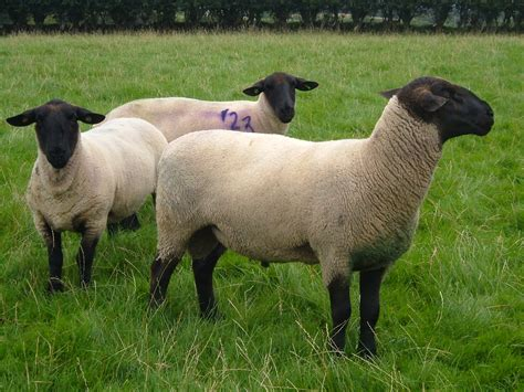 Wool Shedding Sheep by Suffolk Ewe Gallery
