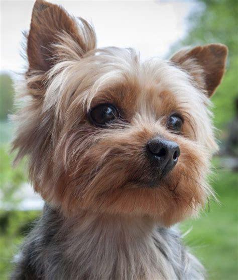 mascotas para pisos peque os m 225 s de 25 ideas incre 237 bles sobre perros peque 241 os en