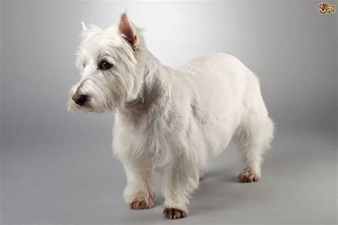 scottish dogs the six scottish breeds of terrier pets4homes