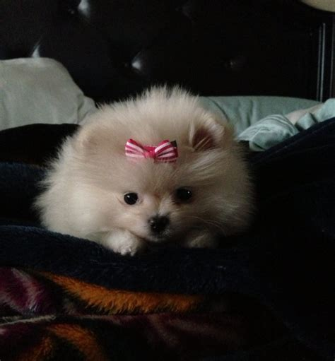 pomeranian with bow 235 best images about pomeranians on pomeranians pets and animals and pets