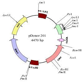 vector map generator plasmid drawing software draw linear or circular dna