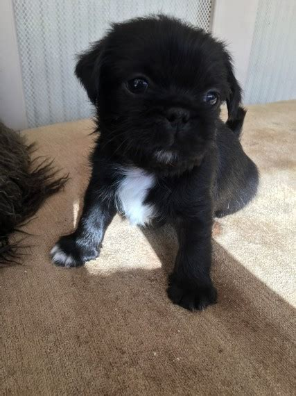 pug tzu for sale one pug shih tzu for sale redcar pets4homes