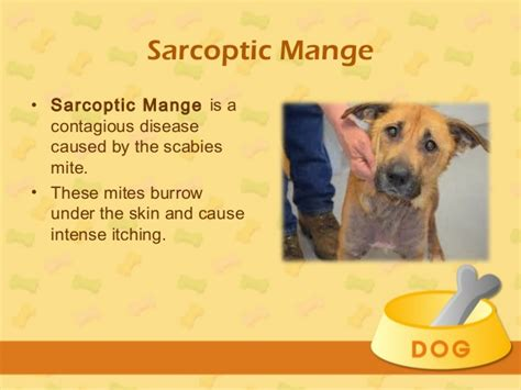 is mange in dogs contagious treatment for mange in dogs
