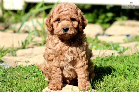 mini labradoodles hawaii meet charger a labradoodle puppy for sale for 1 050