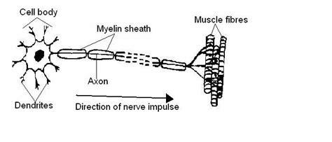 labelled diagram of nerve cell the anatomy and physiology of animals test yourselves the