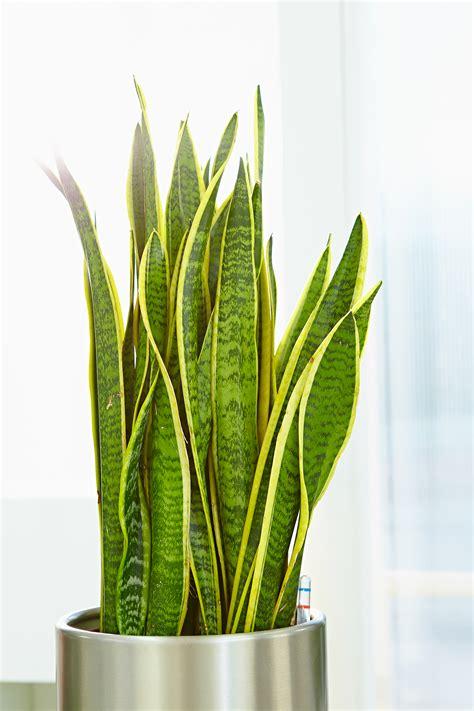 pflanzen im schlafzimmer ungesund zimmerpflanzen schlafzimmer ungesund gt jevelry