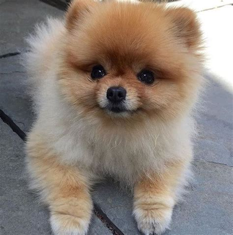 pomeranian puppy best 25 pomeranians ideas on pomeranian pomeranian puppy and teacup