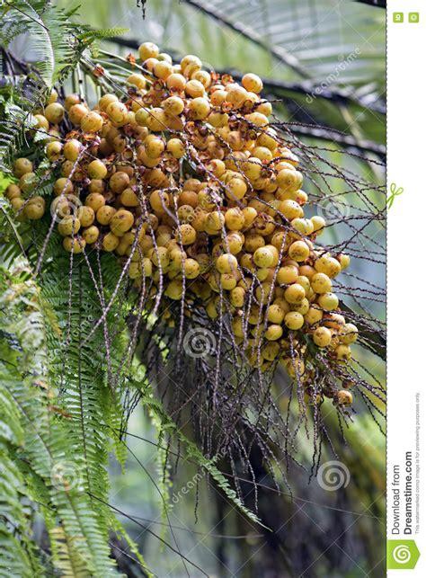 fruit d un palmier fruit jaune d un genre de palmier photo stock image