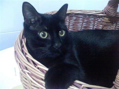 imagenes en negro de gatos imagenes de gatos tiernos y negros imagui