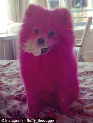 why is my pomeranian not fluffy fluffy the pomeranian in fashion week show daily mail