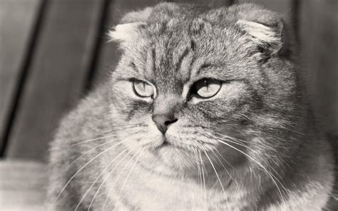 grumpy scottish fold cat black and white photo wallpapers