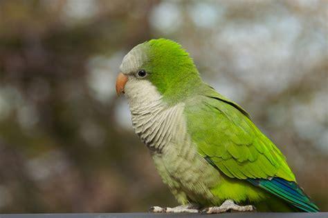 quaker parrot flickr photo sharing