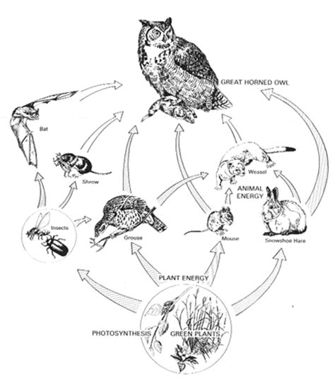 Barn Owl Pellets Facts Food Chain Images