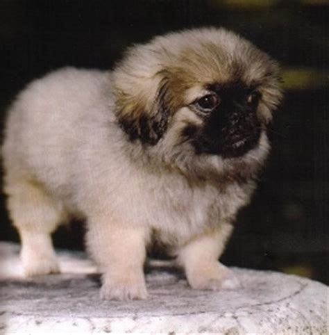 pomeranian puppies for sale in wichita ks keegan s puppies puppy picture gallery
