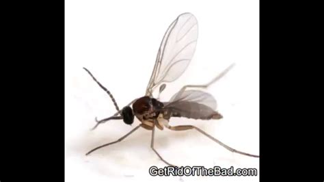 gnats in my house how to get rid of gnats in your house kill them fast
