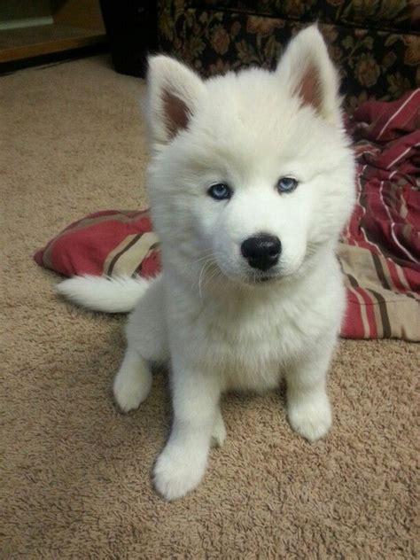 all white husky puppies 25 best ideas about white siberian husky on siberian husky puppies