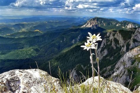 floarea de colt cultivata  gradina da se poate chiar
