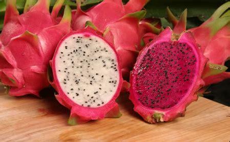 Bibit Buah Naga Kuning Banyuwangi 087784795307 beli buah naga banyuwangi jual benih buah