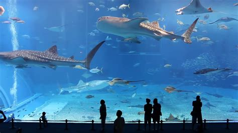 japanese aquarium okinawa churaumi aquarium second largest in the world ocean expo park in okinawa japan youtube