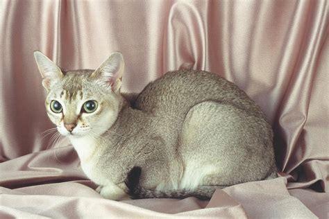 Singapura Cat Breed Info, History, Personality, Kittens