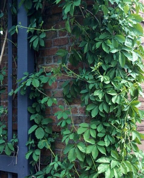 17 best images about ivy and other creeping vines on pinterest perennial ground cover house