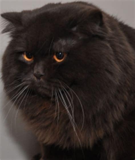 estera olszewski bri cat club 187 wystawa kot 243 w brytyjskich wcf