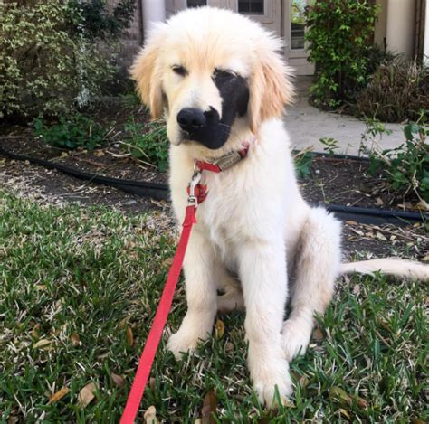 black golden retriever puppy meet enzo the golden retriever puppy with the cutest markings on his animalblog